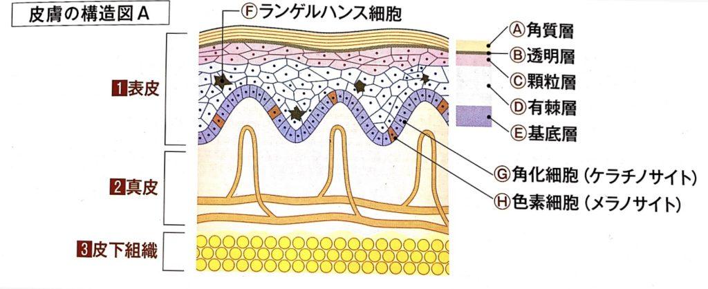 皮膚の構造図A