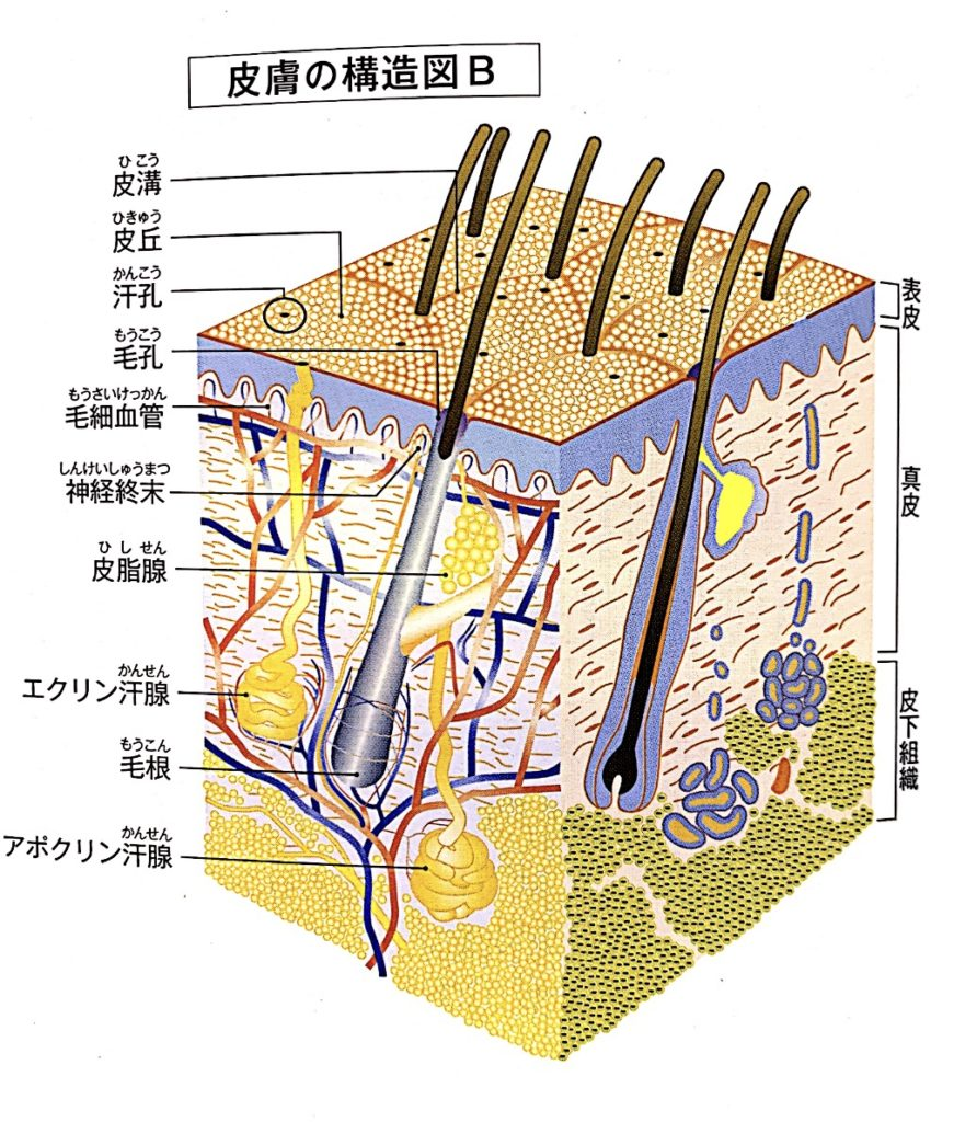 皮膚の構造図B